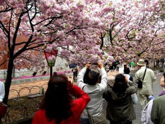Nhật Bản rực rỡ mùa hoa Anh Đào vào tháng 3