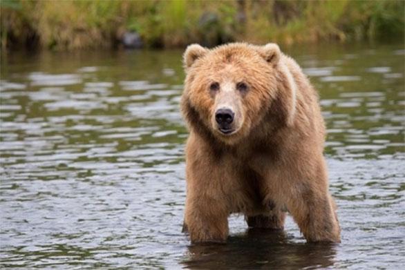 Gấu nâu – loài được trao vương miện quý giá của vương quốc động vật Plitvice.